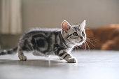Cute American cat Kitten