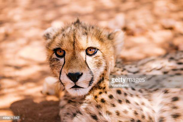 Cute baby cheetah in the savannah, Namibia