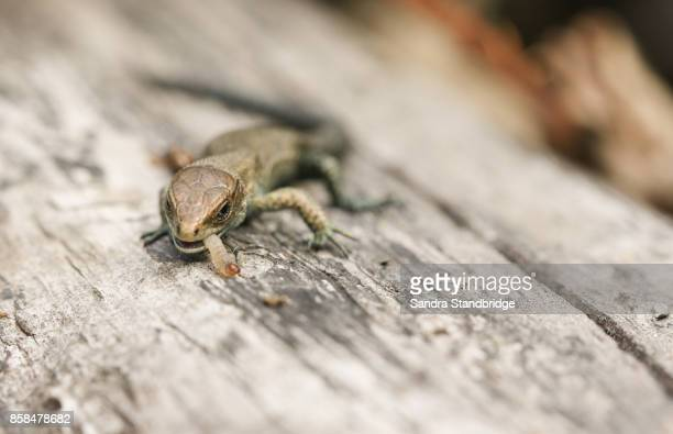 A cute baby Common Lizard (Lacerta Zootoca vivipara) eating an insect on a log.