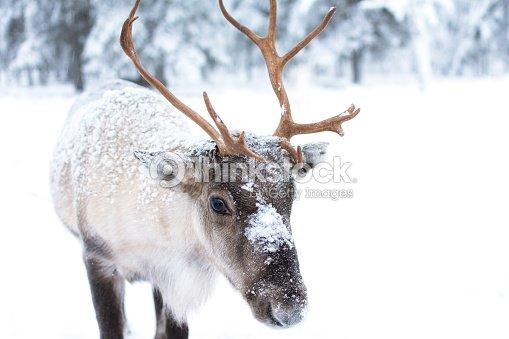 Cute Baby Reindeer : Foto de stock