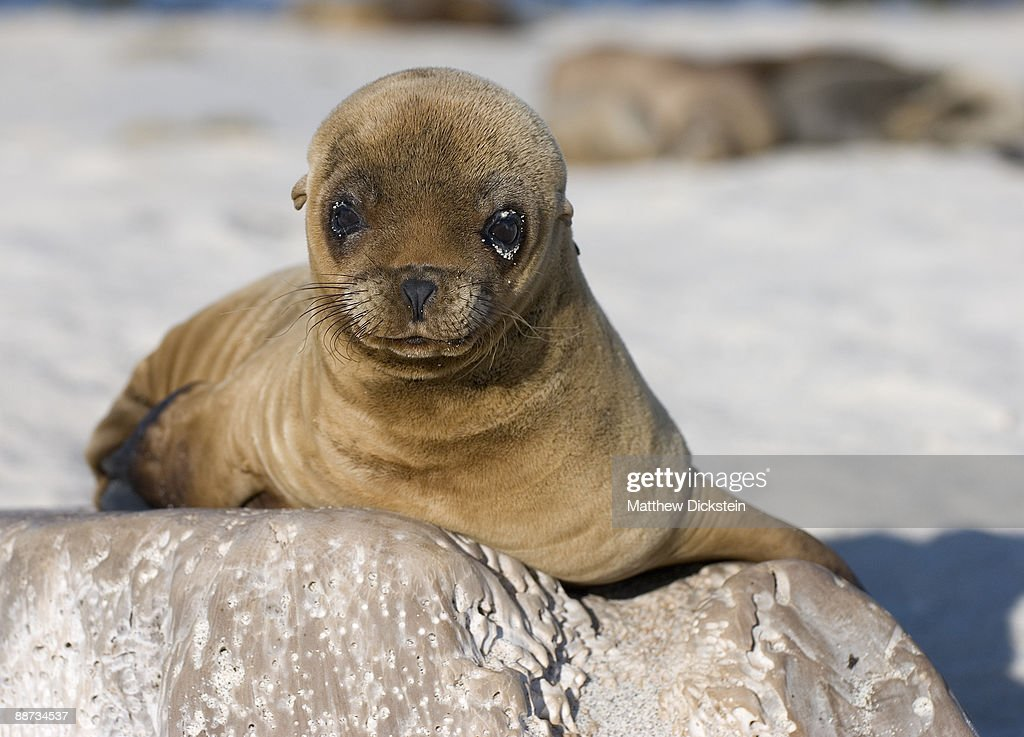 cute baby sea lion stock photo getty images