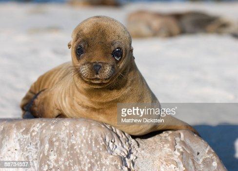 Cute baby sea lion