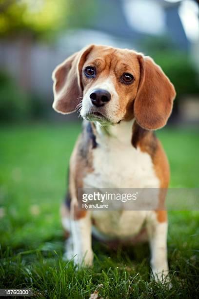 Fofo Beagle no parque