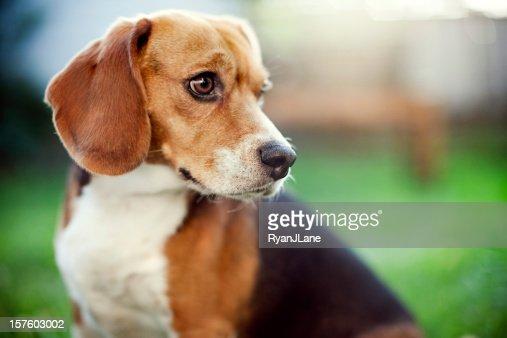 Cute Beagle At Park Portrait