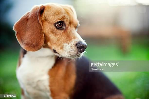 Beagle engraçado, retrato no parque