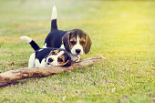 Cute young Beagles playing together in garden