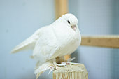 Cute beautiful pigeons in the petting zoo. For all purposes