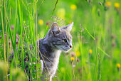 cute beautiful tabby cat hunting in a summer meadow of green grass