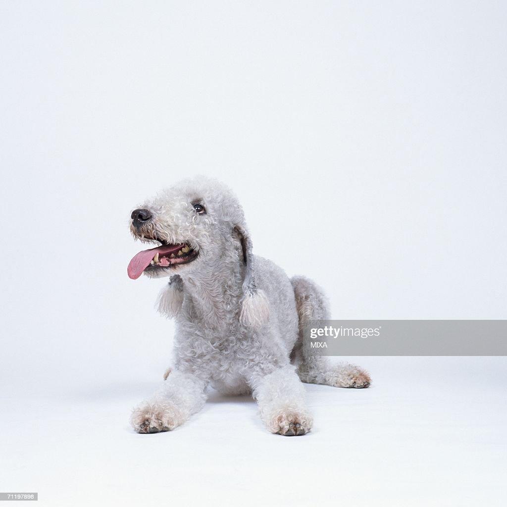 A cute Bedlington terrier lying