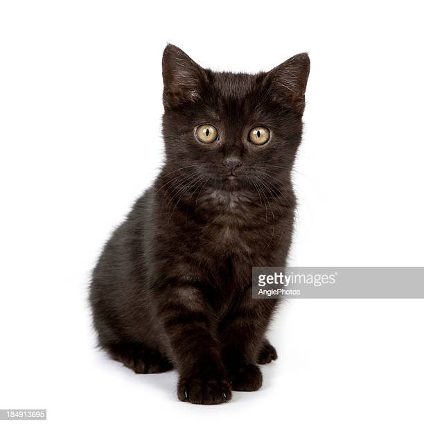 Cute black baby cat