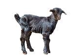Cute black goat kid isolated on white background
