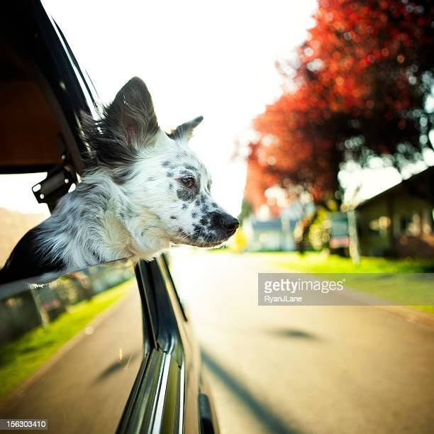 Cute Border Collie Mix Dog in Car