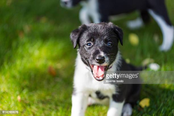 Cute Border collie puppy playing and training on natural background