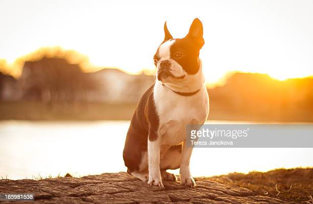 Cute Boston Terrier at sunset
