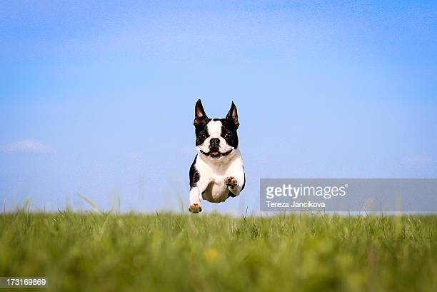Cute Boston Terrier flying over grass