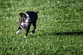 Cute Boston Terrier dog playing on green field