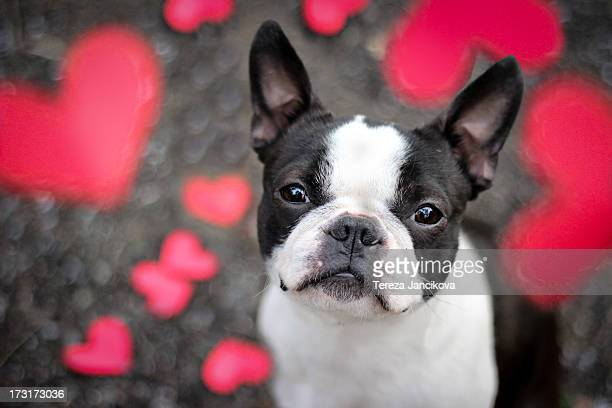 Cute Boston Terrier puppy surrounded by hearts