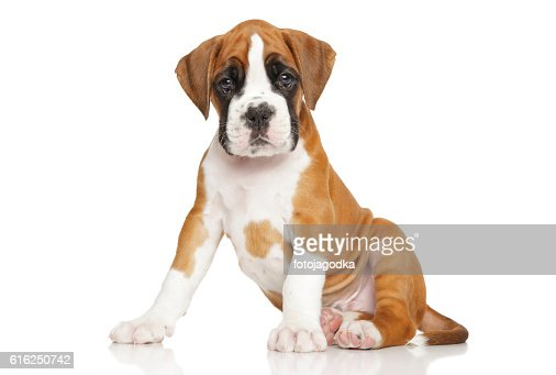 Cute Boxer puppy on white : Foto de stock