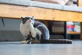 Cute British short hair cat kitten