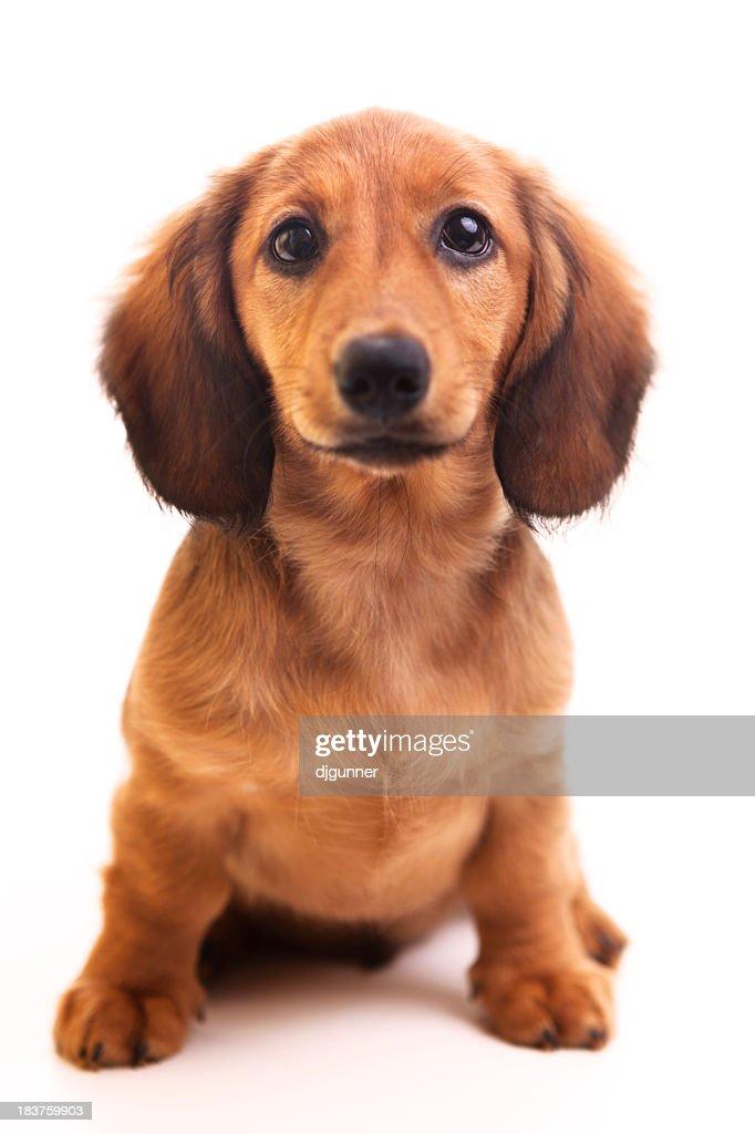 Perro tejonero cachorro sobre blanco : Foto de stock
