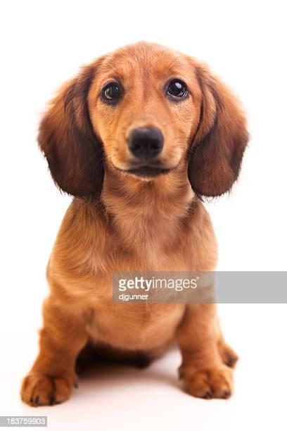 Perro tejonero cachorro sobre blanco
