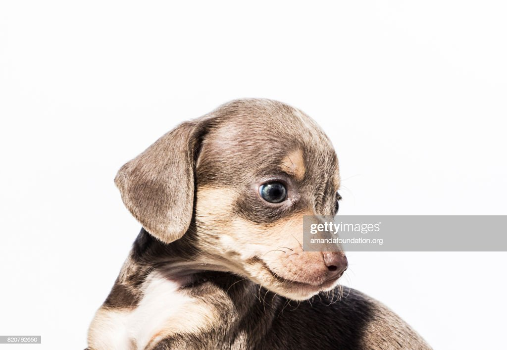 Close-up shot of 'Bette,' a female Dachshund mix puppy looking away on a white background. By using this photo, you are supporting the Amanda Foundation, a nonprofit organization that is dedicated to helping homeless animals find permanent loving homes.