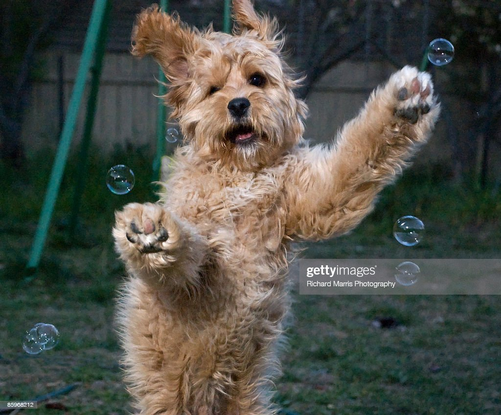 Cute Brown Fluffy Dog Jumping To Catch Bubbles Stock Photo ...