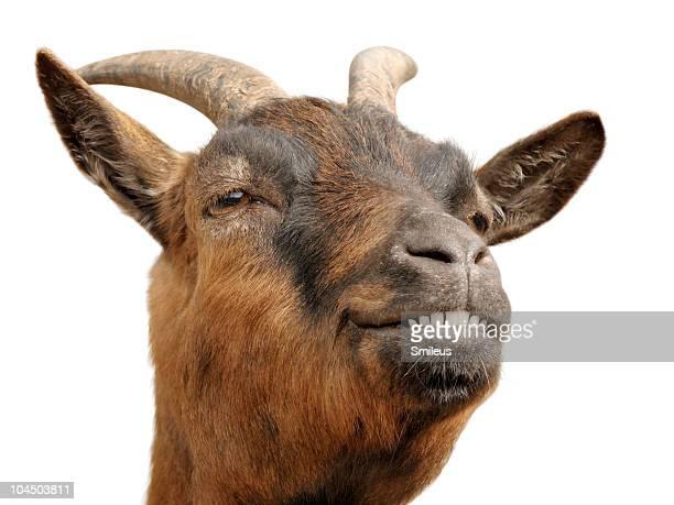 Cute brown goat's grin
