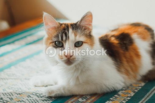 ffed79cc06d Cute calico cat lies on the green carpet and looks at you. Fluffy pet with  green eyes.