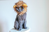 Grey Scottish Fold cat with a lion mane hat