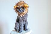 Grey Scottish Fold cat with a lion mane hat