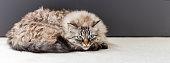 Cute cat lying on the carpet. Neva Masquerade Cat.