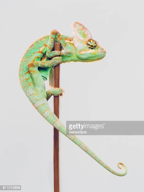 Cute chameleon climbing on white background