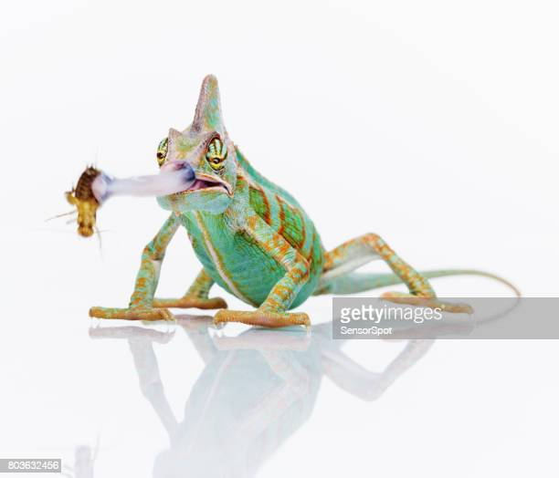Cute chameleon eating an insect