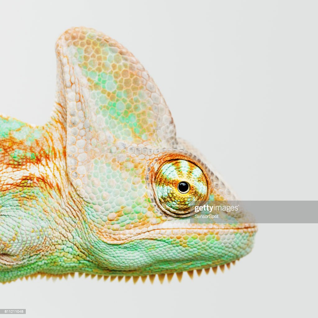 Cute chameleon head looking at camera : Stock Photo