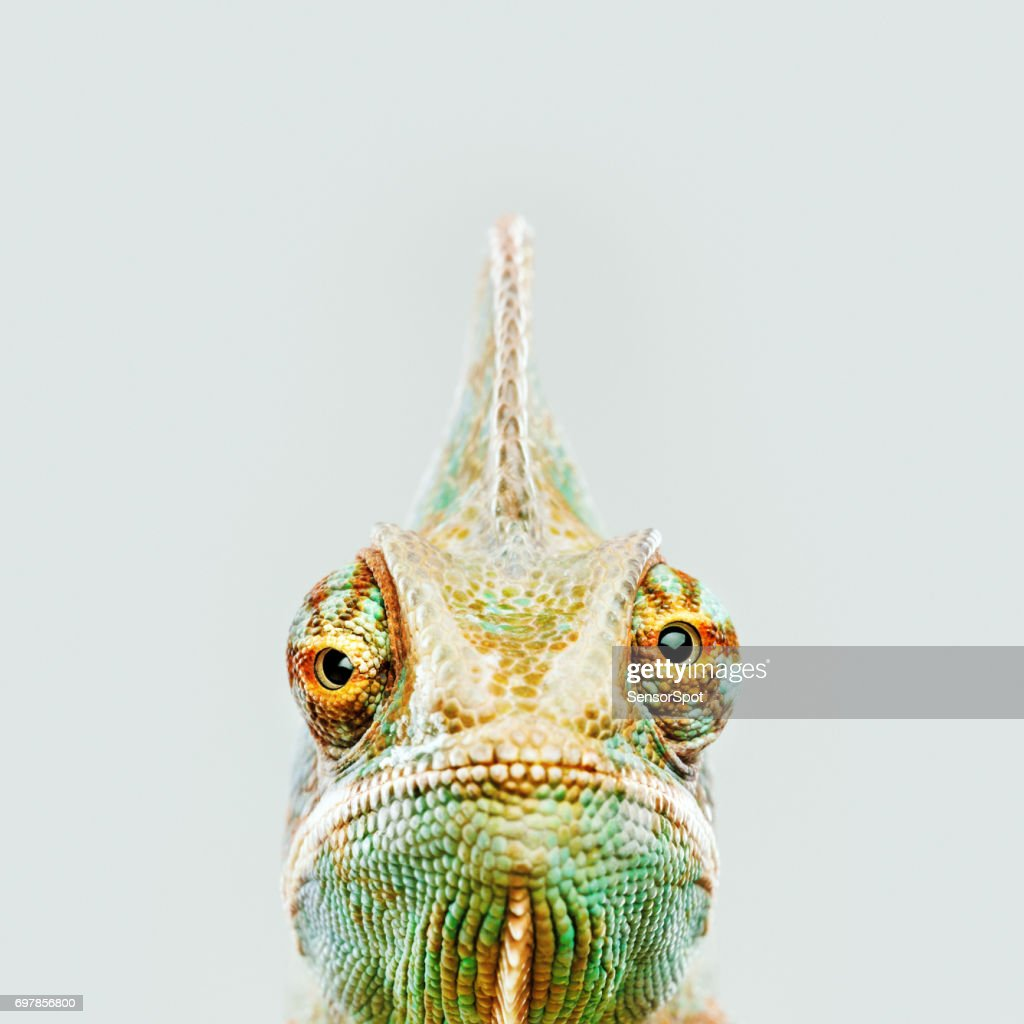 Cute chameleon looking at camera : Stock Photo