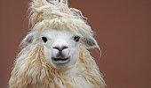 cute chic alpaca hairstyle close up portrait on clean background