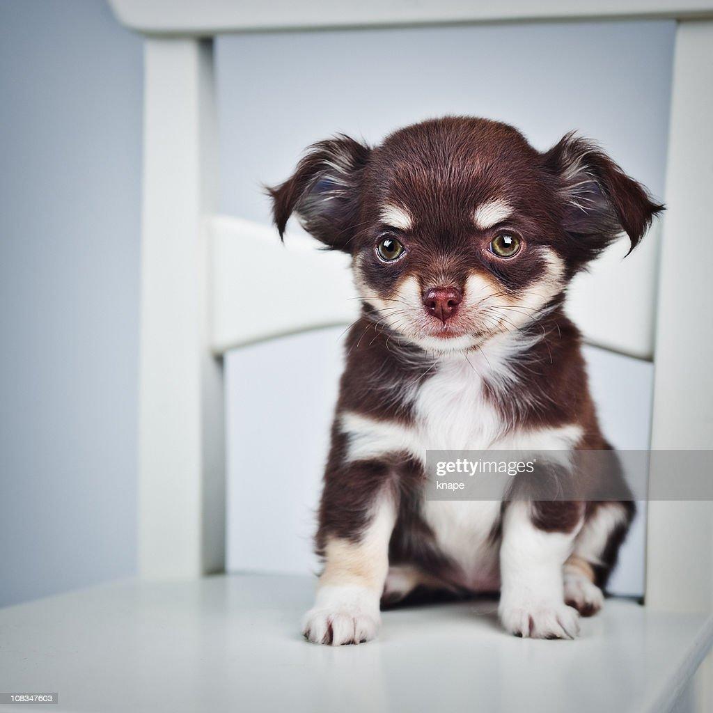 Cute Chihuahua puppy : Stock Photo