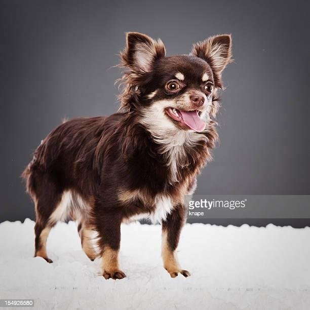Chihuahua adorável cachorrinho