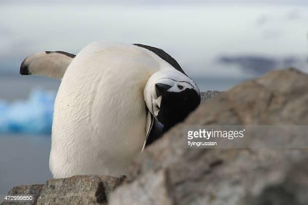Closeup of Chinstrap penguin (Pygoscelis antarctica) in Antarctica, looking upside down at camera