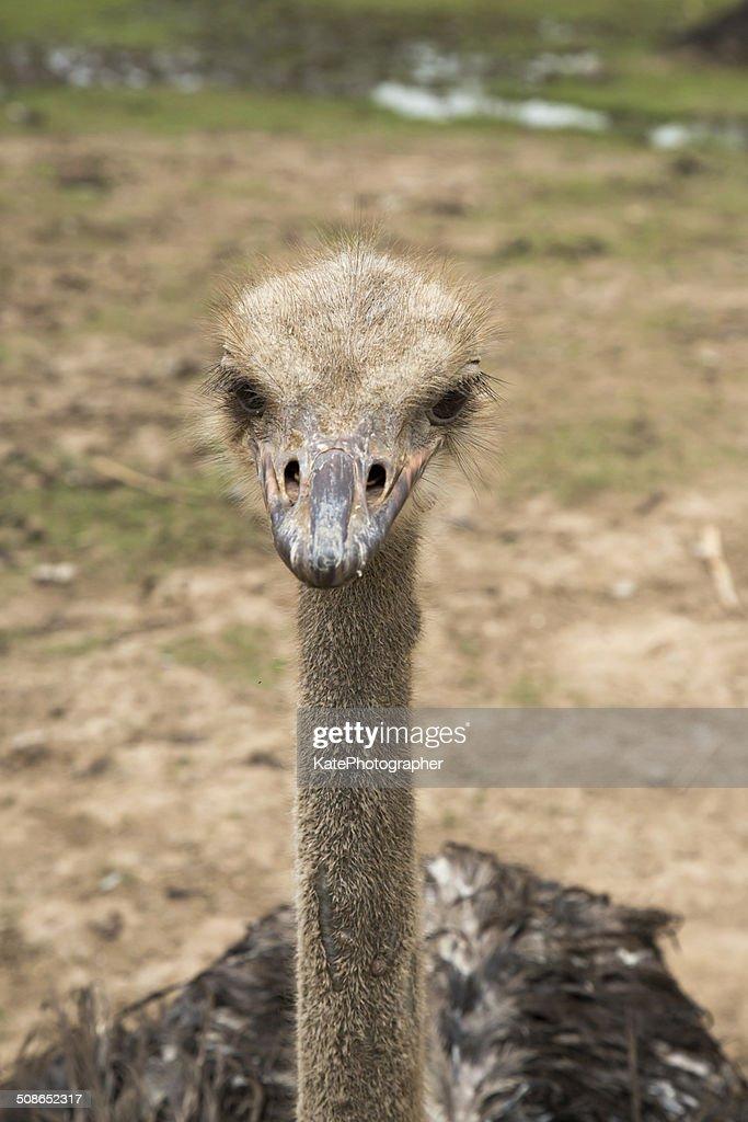 Cute closeup photo of emu. : Stock Photo