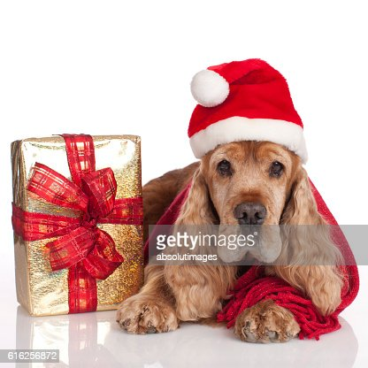 Cute cockerspaniel with christmas gift : Foto de stock