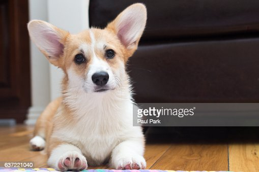 Cute corgi puppy with big ears