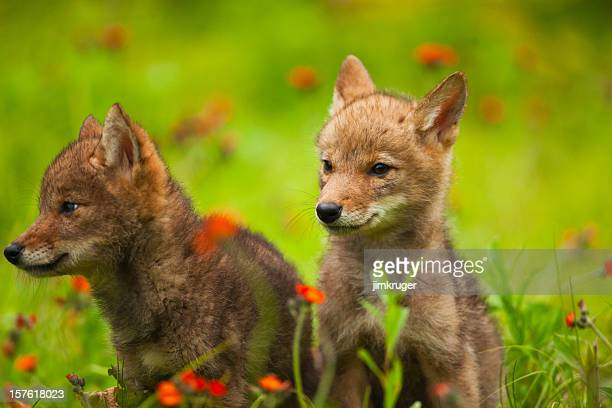 Cute coyote pups playing in wildflowers.