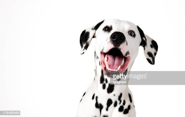 cute dalmatian