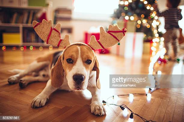 Cute dog dressed up as Rudolph, the red-nose reindeer