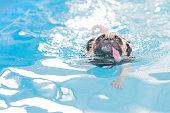 a cute dog Pug swim at a local public pool