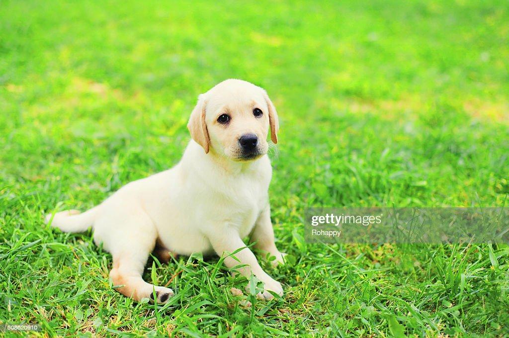 Cute dog puppy Labrador Retriever lying resting on grass : Stock Photo