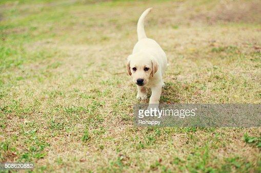 Cute dog puppy Labrador Retriever running on grass : Stock Photo