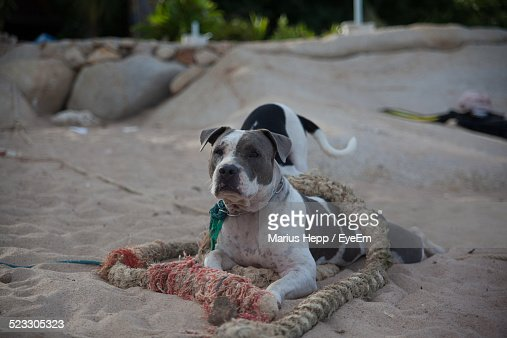 Cute Dog Relaxing On Sand At Beach Stock Photo Getty Images